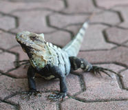 Iguana outdoor. Lizard Royalty Free Stock Photos