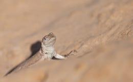 Iguana pacífica de Tschudi imagens de stock royalty free