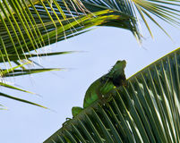 Iguana in palm tree Stock Images
