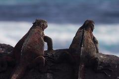 Iguana Pals. A couple marine Iguanas on a rock Royalty Free Stock Image