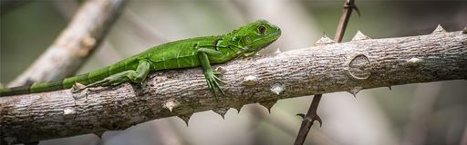 Iguana Royalty Free Stock Photography