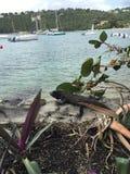 Iguana in paradise. Iguana basking in the hot sun on the coast of St. John Stock Photography