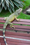 Iguana Park  Royalty Free Stock Photo
