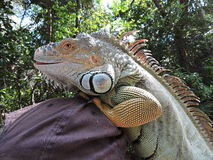 Iguana at the Park of Fort Lauderdale. Florida. Royalty Free Stock Photos