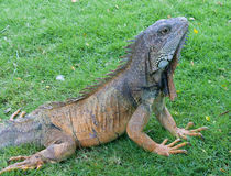 Iguana Park  Royalty Free Stock Images