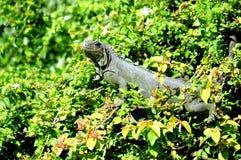 Iguana, parque de la Florida Imágenes de archivo libres de regalías