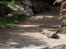 Iguana on path. Large iguana laying on path Royalty Free Stock Images