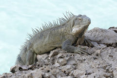 Iguana Perched on a Rocky Sea Wall - Bonaire Stock Image