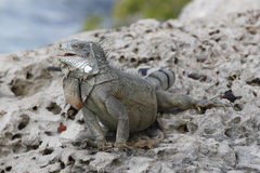 Iguana Perched on a Rocky Sea Wall - Bonaire Stock Photos