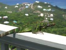 Iguana perches on rail looking towards sea. An iguana perches on a wooden railing, surveying the Caribbean Sea Royalty Free Stock Image