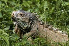 Iguana perezosa foto de archivo libre de regalías