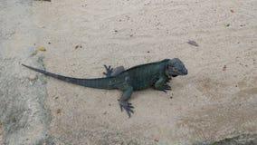 Iguana perezosa en el parque zoológico de Singapur imágenes de archivo libres de regalías