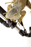 Iguana in photography accessories Stock Photography