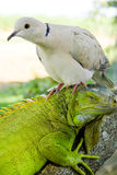 Iguana and pigeon Royalty Free Stock Photo