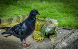 Iguana and pigeon in a park - Guayaquil, Ecuador. Iguana and pigeon in Seminario park -Guayaquil, Ecuador stock photo