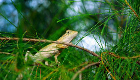 Iguana in the pines. Royalty Free Stock Images