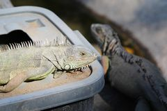 Iguana on a plastic bucket Royalty Free Stock Photos