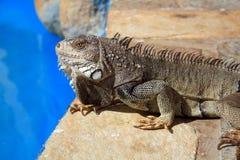 Iguana poolside Royalty Free Stock Photography