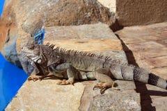 Iguana poolside Royalty Free Stock Images