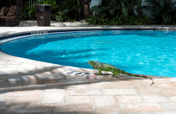 Iguana at Poolside Key West Royalty Free Stock Photo