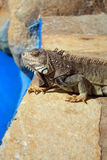 Iguana poolside Stock Photography