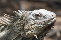 Iguana Portait Royalty Free Stock Images