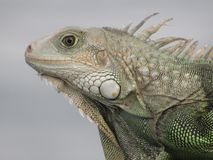 Iguana portoricana fotografia stock