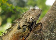 Iguana Portrait. Iguana climbing a tree on the wild stock images