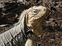 Iguana Portrait Royalty Free Stock Photo