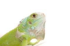 Iguana portrait. On puzzle ball Royalty Free Stock Image
