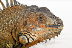 Iguana portrait Royalty Free Stock Images
