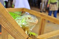 Iguana portrait. An iguana resting top of its cage. The photo is taken at Putrajaya, Malaysia Royalty Free Stock Photo
