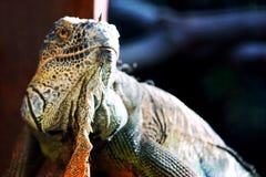 Iguana portrait. Portrait of green iguana (The Green Iguana or Common Iguana (Iguana iguana Stock Images