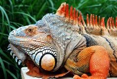 Iguana portrait Stock Photos