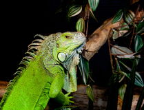 Iguana portrait. A close portrait of an iguana. Standing still, watching, concentrating Royalty Free Stock Image
