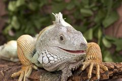 Iguana Portrait Stock Photography