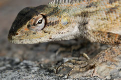 Iguana portrait Stock Images