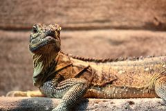 Iguana portrait. A portrait of an iguana on a platform Royalty Free Stock Images