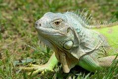 Iguana portrait. A closeup portrait of the head of a greenish, female Iguana Stock Photo