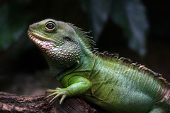 Iguana. Portrait of a baby iguana in the forest stock image