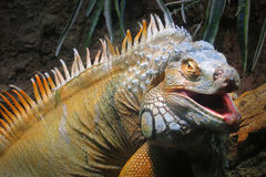 Iguana. Portrait of a big iguana on the forest stock photo