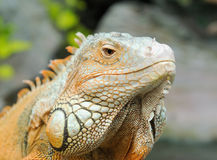 Iguana Stock Photos