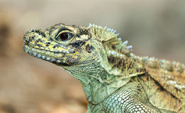 Iguana portrait. The iguana is a member of lizard family and can swim stock photo