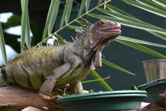 Iguana portrait Stock Image