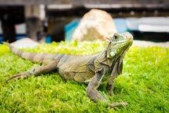 Iguana portrait in Oranjestad`s, Aruba Stock Image