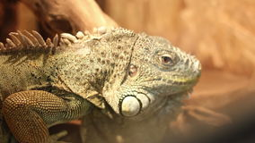 Iguana Portrait stock video