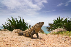 Iguana portrait Stock Photo