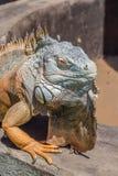 Iguana portrait sitting on well wall Stock Photos