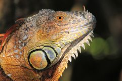 Iguana portrait in the wild Royalty Free Stock Photo