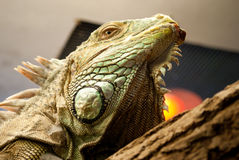 Iguana. Portrait of iguana in ZOO Stock Photo